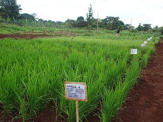 Upland rice Benefits and burdens of new rice varieties in Uganda CGIAR News