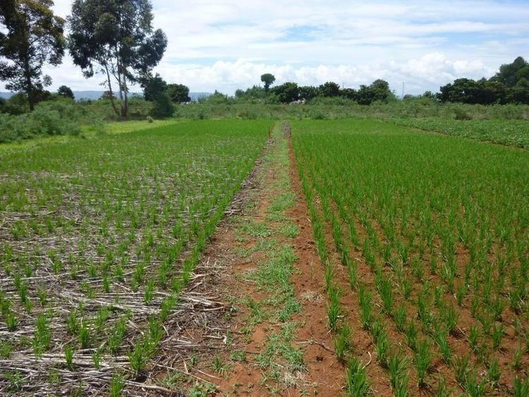 Upland rice Upland rice in Madagascar using conservation agriculture to control