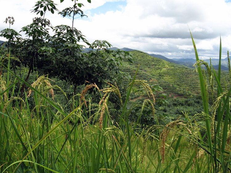Upland rice FileUpland rice growing under immature rubber treesJPG Wikimedia