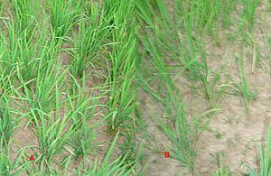 Upland rice Upland rice Wikipedia