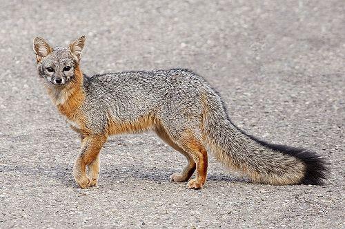 Urocyon Gray Fox Urocyon cinereoargenteus iNaturalistorg