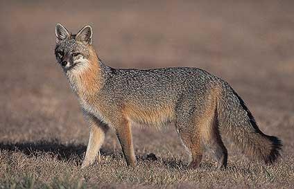 Urocyon Urocyon cinereoargenteus Gray fox