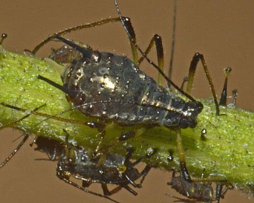 Uroleucon Uroleucon Wikipedia