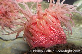 Urticina lofotensis Urticina Lofotensis Photo Urticina Lofotensis photos Phillip Colla