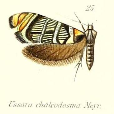 Ussara chalcodesma