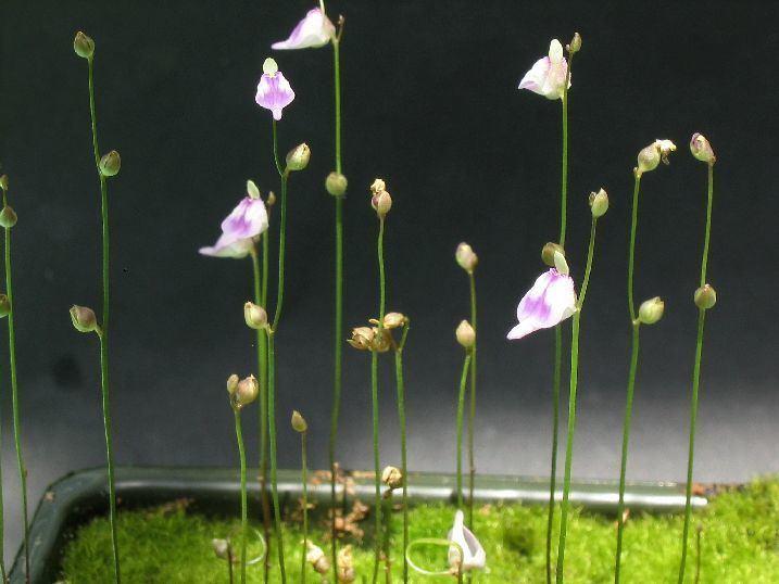 Utricularia arenaria s1postimgorgt9o6c2r33UarenariaWeb352jpg