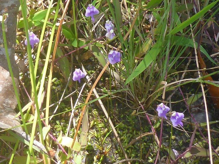 Utricularia arenaria Utricularia arenaria photos