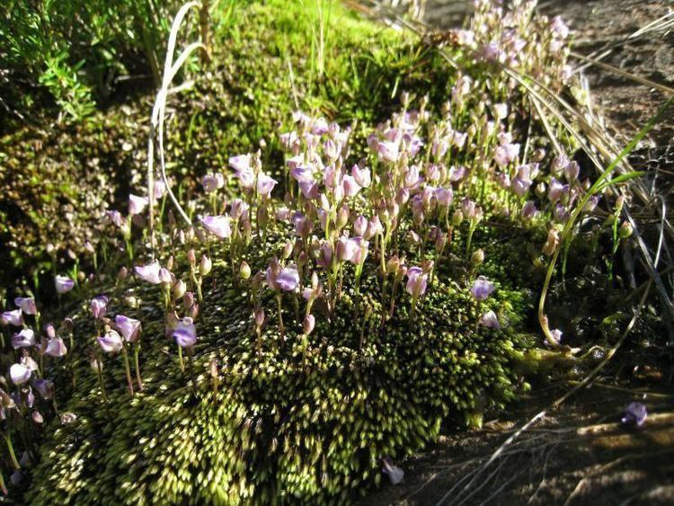 Utricularia arenaria Utricularia Arenaria Annual Carnivorous Very Rare Plant 10