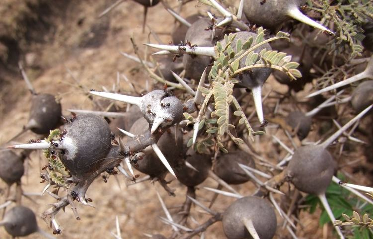 Vachellia drepanolobium FileAcacia drepanolobium and Crematogaster nigriceps Ngorongoro