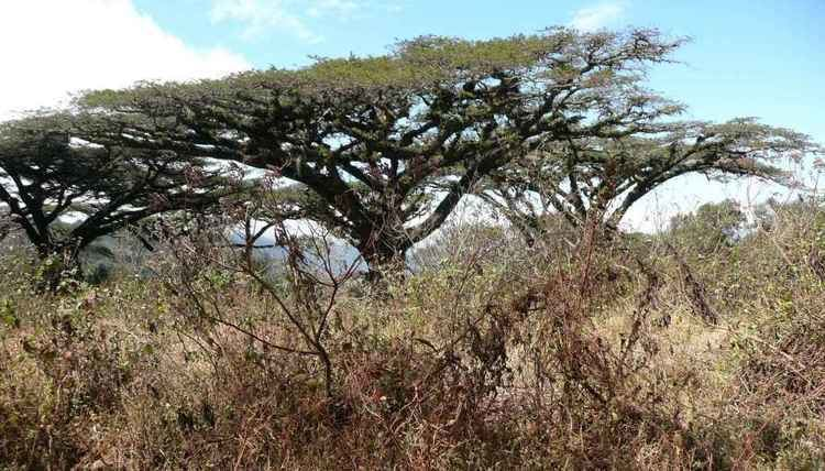Vachellia drepanolobium Trees and yes they can be interesting too huttvlkenya39s Blog