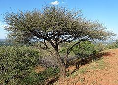 Vachellia nilotica subsp. kraussiana httpsuploadwikimediaorgwikipediacommonsthu