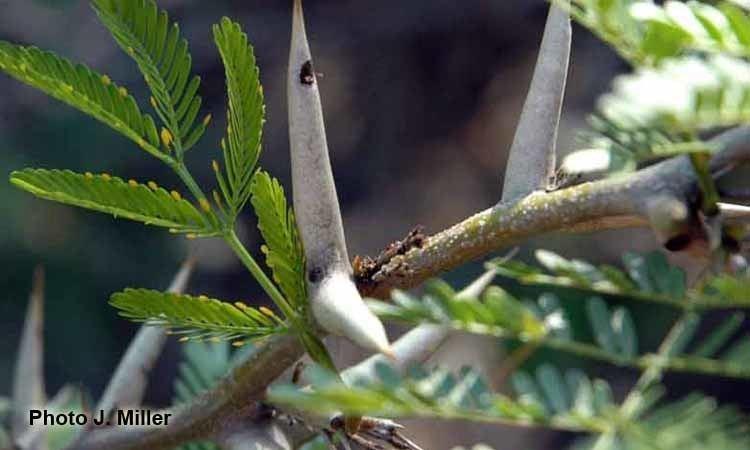 Vachellia sphaerocephala wwwanbggovaujmillerfactsheetsAllSpeciesimag