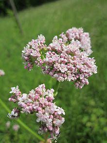 Valerian (herb) httpsuploadwikimediaorgwikipediacommonsthu