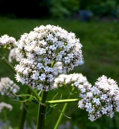 Valerian (herb) How to grow fragrant valerian Valeriana officinalis and use