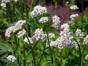 Valerian (herb) Herbs For Valerian