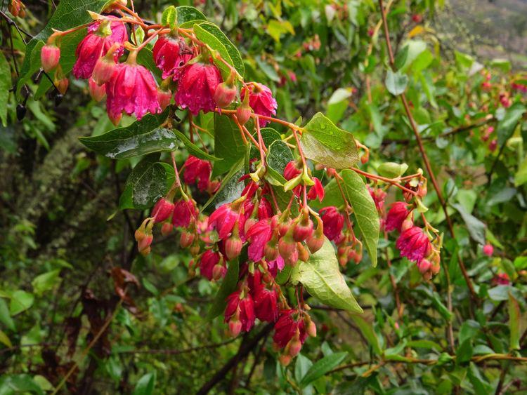 Vallea stipularis Vallea stipularis Between Paucartambo and Wayqecha Biologi Flickr