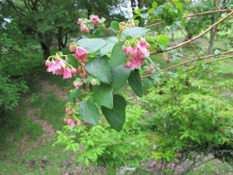 Vallea stipularis Vallea stipularis Hackfalls Arboretum Tiniroto Gisborne NZ