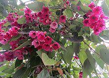 Vallea stipularis httpsuploadwikimediaorgwikipediacommonsthu