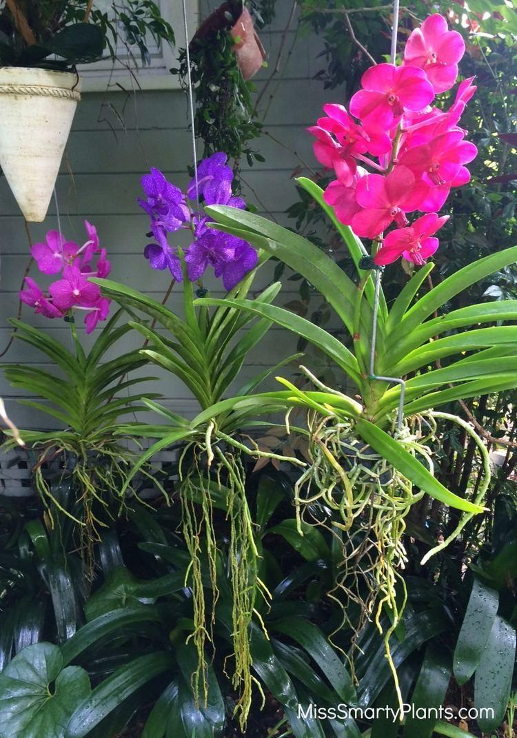 Vanda Alchetron The Free Social Encyclopedia Limbata Orchids