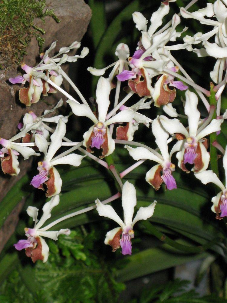 Vanda lamellata Aeridinae classification Orchidaceae subtribe Aeridinae