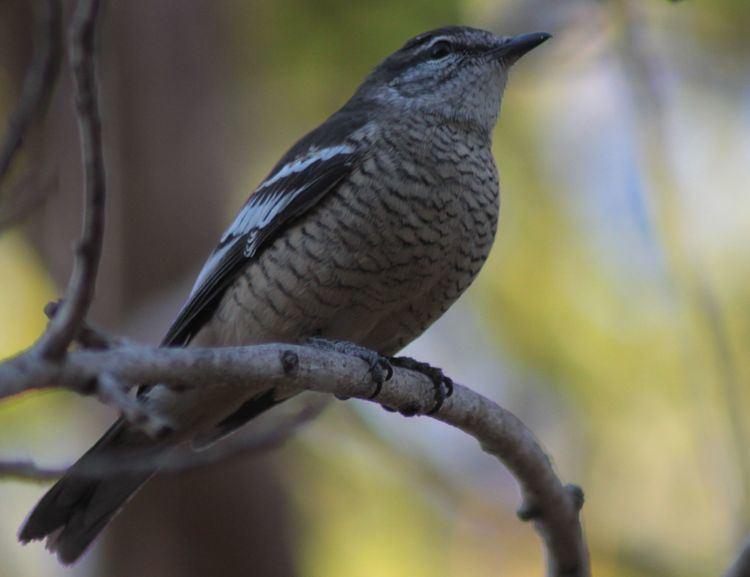 Varied triller Varied Triller BIRDS in BACKYARDS