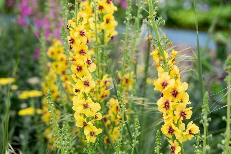Verbascum Verbascum phoenicium 39Violetta39 gardenersworldcom