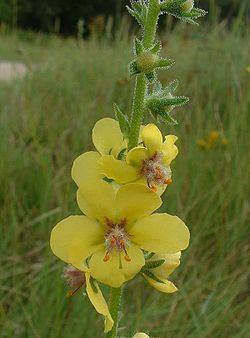 Verbascum blattaria Verbascum blattaria Wikispecies