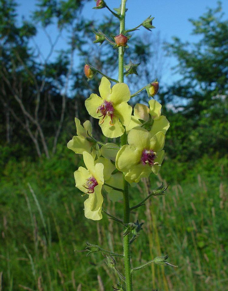 Verbascum blattaria Verbascum blattaria moth mullein Go Botany