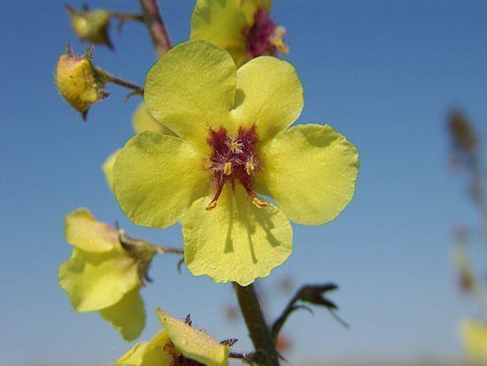 Verbascum blattaria Verbascum blattaria Verbasco delle falene