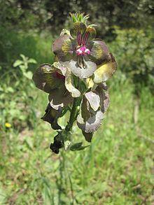 Verbascum bugulifolium httpsuploadwikimediaorgwikipediacommonsthu