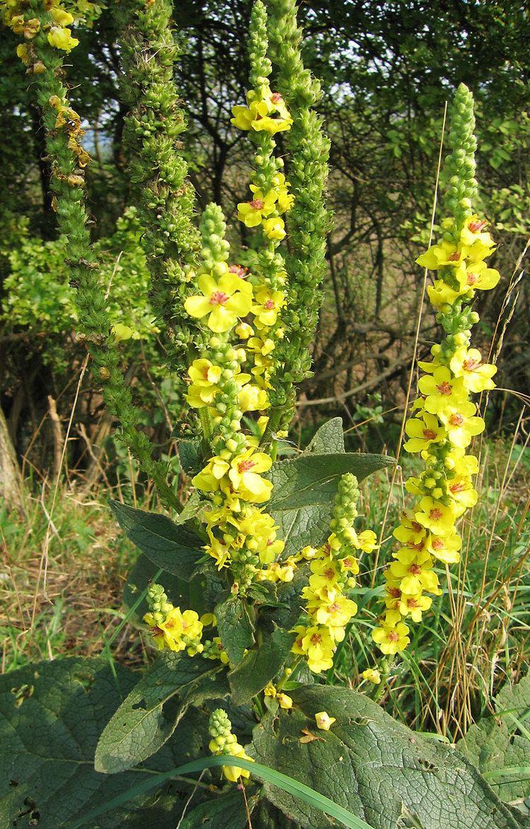 Verbascum nigrum Verbascum nigrum Wikipedia