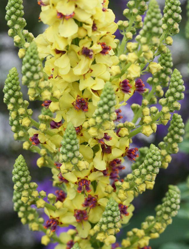 Verbascum nigrum Verbascum nigrum quotDark Mulleinquot Buy Online at Annie39s Annuals