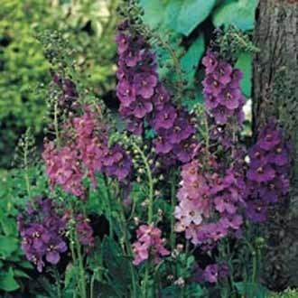 Verbascum phoeniceum Verbascum phoeniceum MixedJohnsons Seeds Flower Seeds
