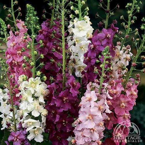 Verbascum phoeniceum Plant Profile for Verbascum phoeniceum hybrids Showy Mullein Perennial