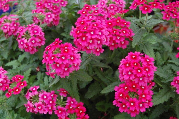Verbena This Month in Diseases Verbena Greenhouse Product News
