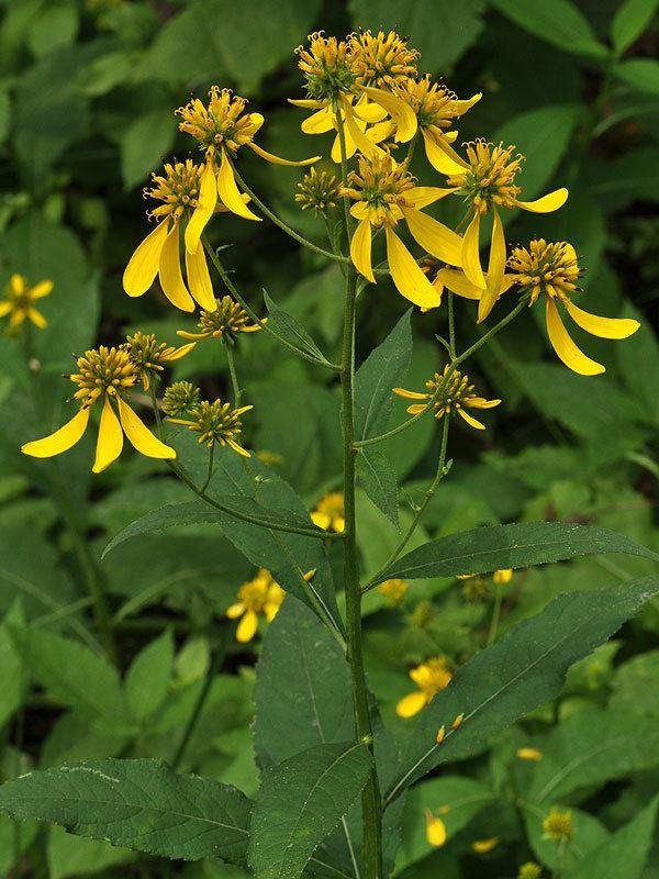 Verbesina Verbesina alternifolia Wingstem Discover Life