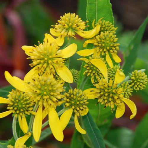 Verbesina VERBESINA ALTERNIFOLIA SEEDS Wingstem Actinomeris alternifolia