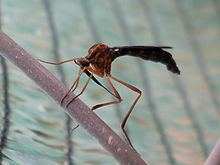 Vermileonidae httpsuploadwikimediaorgwikipediacommonsthu