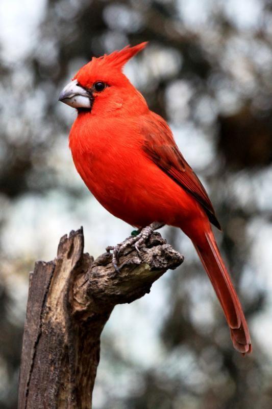 Vermilion cardinal Gallery of Vermilion Cardinal Cardinalis phoeniceus the Internet