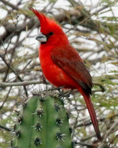 Vermilion cardinal Colombia The Richest Country for Birds