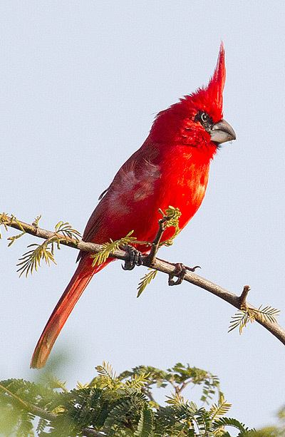 Vermilion cardinal Surfbirds Online Photo Gallery Search Results