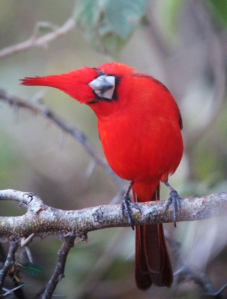 Vermilion cardinal Cardinalis phoenicius Cardenal guajiro Vermilion Cardinal male