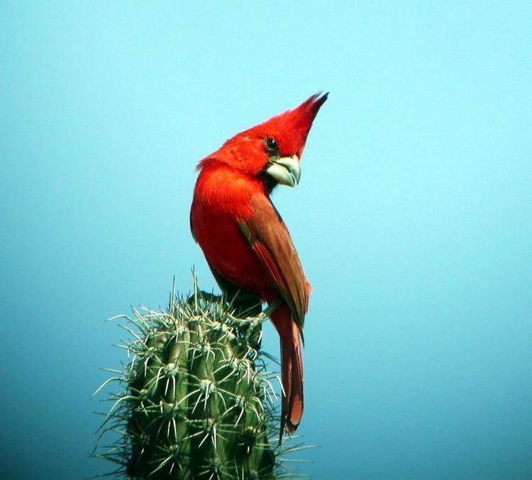 Vermilion cardinal Vermilion Cardinal Cardinalis phoeniceus videos photos and sound
