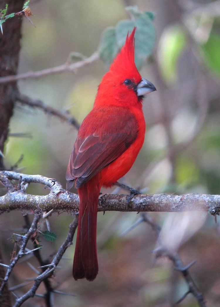 Vermilion cardinal vermilion cardinal Tumblr