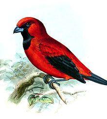 Vermilion tanager httpsuploadwikimediaorgwikipediacommonsthu