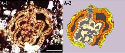 Vernanimalcula Sinanthropus Phosphatized PreCambrian Embryos of China