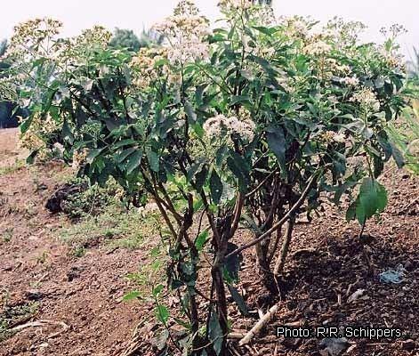 Vernonia amygdalina Inmagic DBText WebPublisher PRO 1 records