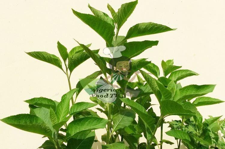 Vernonia amygdalina Health Benefits of Bitter leaf Vernonia amygdalina