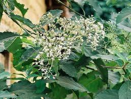 Vernonia amygdalina Haematological effects of aqueous extract of Vernonia amygdalina in