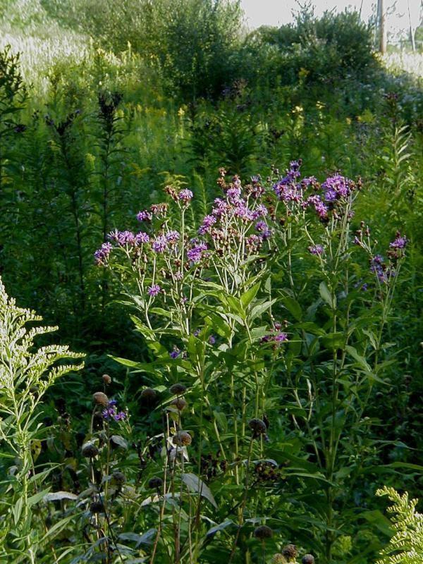 Vernonia missurica Missouri ironweed Vernonia missurica